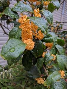 Kinmokusei flowers