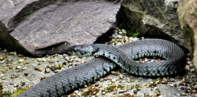 A woman suffering from 'Snake Plague' at home posts a video of the venomous reptile's carnage.