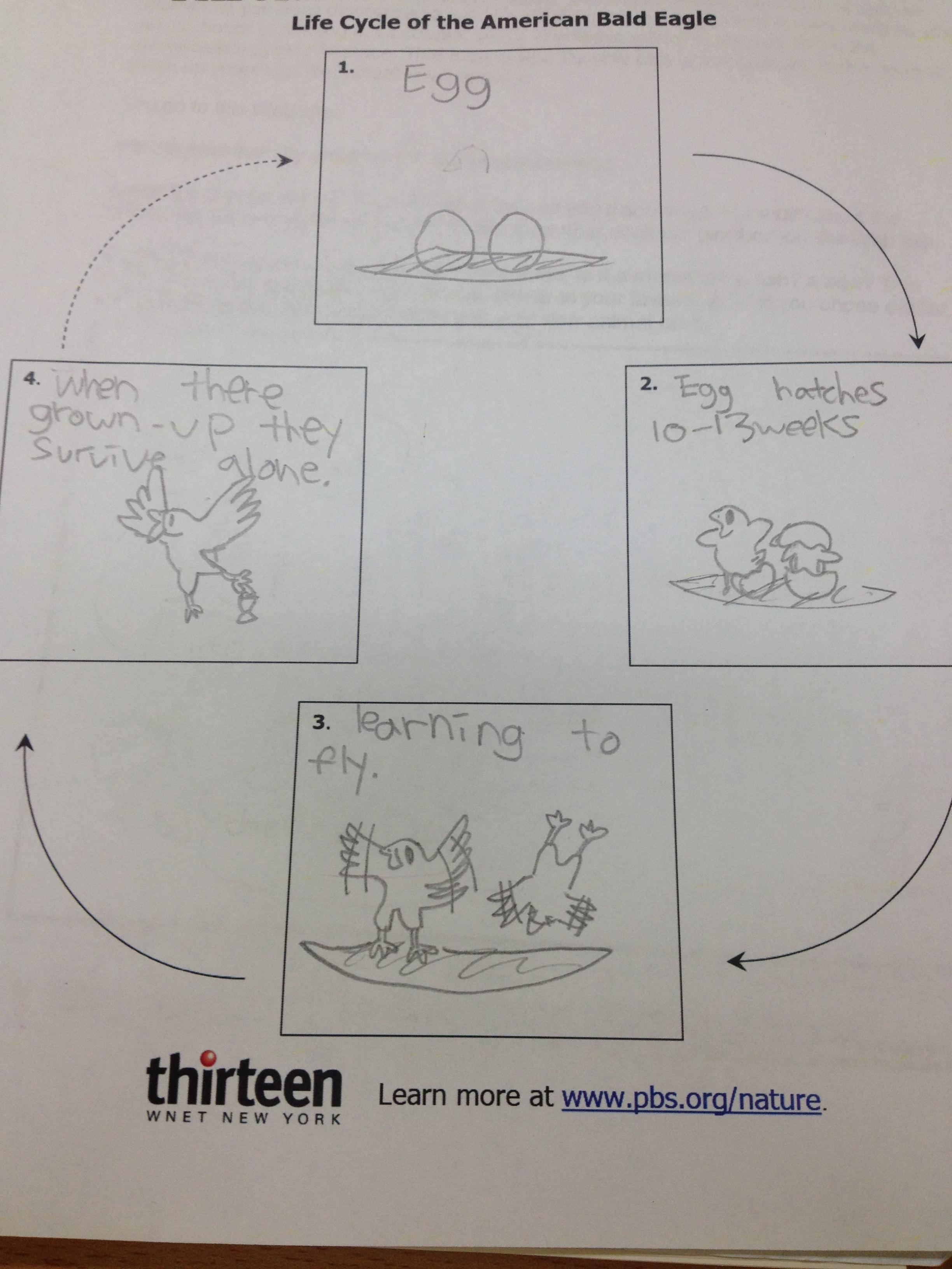 Bald Eagle Life Cycle For Kids