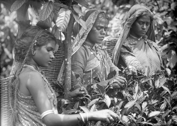Photograph of three women harvesting tea in Sri Lanka (then Ceylon)