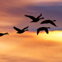 A flock of migrating Snow Geese flying at sunrise.
