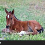 Little Baby Horse Laying On A Fresh Green Grass 148768274 Image Stock Photo