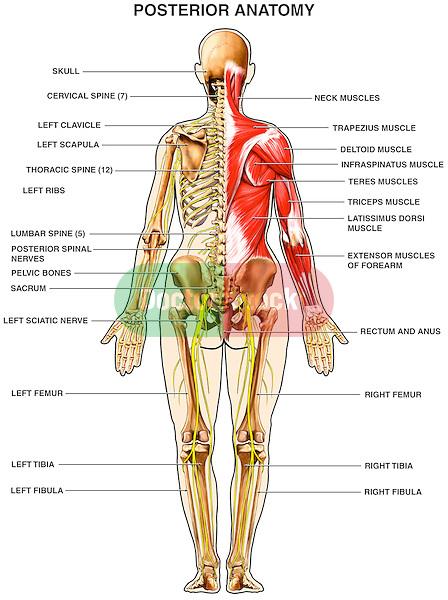 Posterior Upper Skeleton