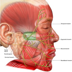 Facial Muscles and Nerves | Doctor Stock