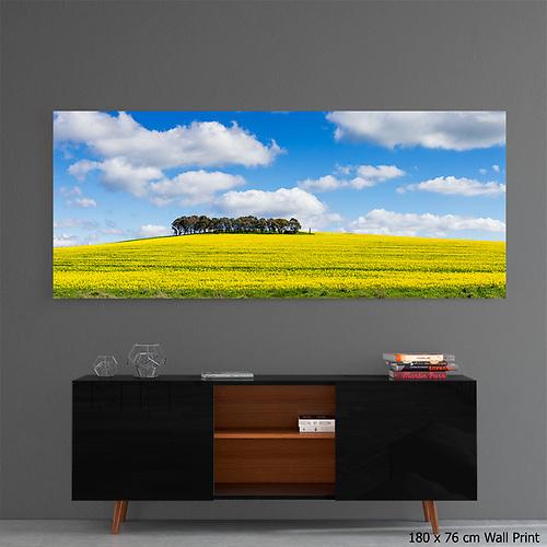 wall art acrylic print or canola crop in a field