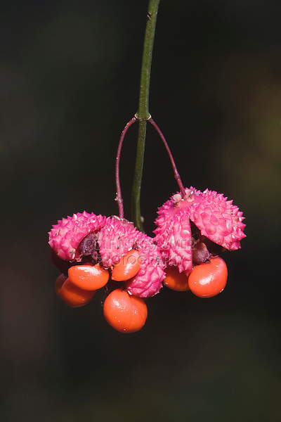 Strawberry-bush (Euonymus americanus) | ROLF NUSSBAUMER ...