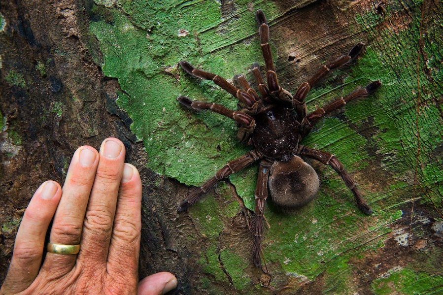 Goliath Bird eating Tarantula   http   www peteoxford com Goliath Bird eating Tarantula  Theraphosa blondi  LARGEST SPIDER IN THE  WORLD br
