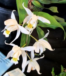 Coelogyne 'Unchained Melody', coelogyne, coelogynes, orchid, orchids, cymbidium, cymbidium kimberly splash, tee pee, south east Melbourne, Melbourne, orchid clubs, orchid societies, OSCOV, orchid photos, orchid care, orchid pictures, orchid images, orchid shows, orchid newsletters, orchids on Facebook, orchids of Twitter, Moorabbin, Bentleigh, Brighton, Hampton, Sandringham, Black Rock, Beaumaris, Bayside Council, Bayside district, Kingston, Bayside Melbourne, SE Suburbs, Parkdale, Mordialloc, Carnegie, Cheltenham, McKinnon, Highett, Oakleigh, Clarinda, Heatherton, Clayton, Dingley, Elsternwick, Caulfield, Ormond, Glenhuntley, Murrumbeena,