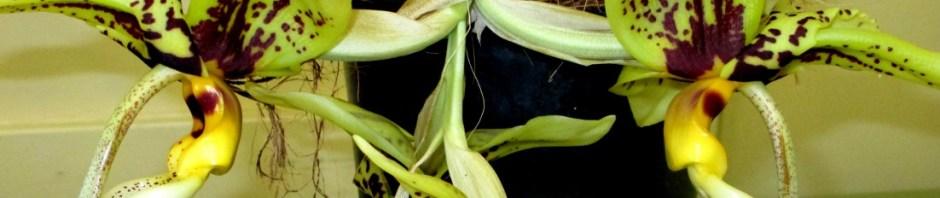 cropped-stanhopea-spindieriana-tigrinaxoculita