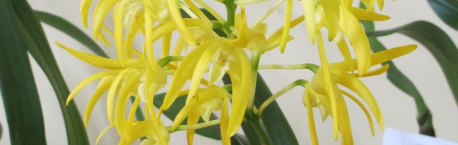 rock lily header den speciosum