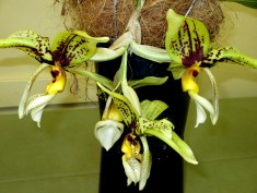 Stanhopea spindieriana tigrinaxoculita upside down orchid, upside-down orchid, stanhopeas, orchid, orchids, cymbidium, south east Melbourne, Melbourne, orchid clubs, orchid societies, OSCOV, orchid photos, orchid care, orchid pictures, orchid images, orchid shows, orchid newsletters, orchids on Facebook, orchids of Twitter, Moorabbin, Bentleigh, Brighton, Hampton, Sandringham, Black Rock, Beaumaris, Bayside Council, Bayside district, Kingston, Bayside Melbourne, SE Suburbs, Parkdale, Mordialloc, Carnegie, Cheltenham, McKinnon, Highett, Oakleigh, Clarinda, Heatherton, Clayton, Dingley, Elsternwick, Caulfield, Ormond, Glenhuntley, Murrumbeena,