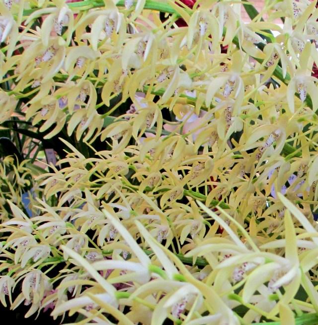 dendrobium speciousum