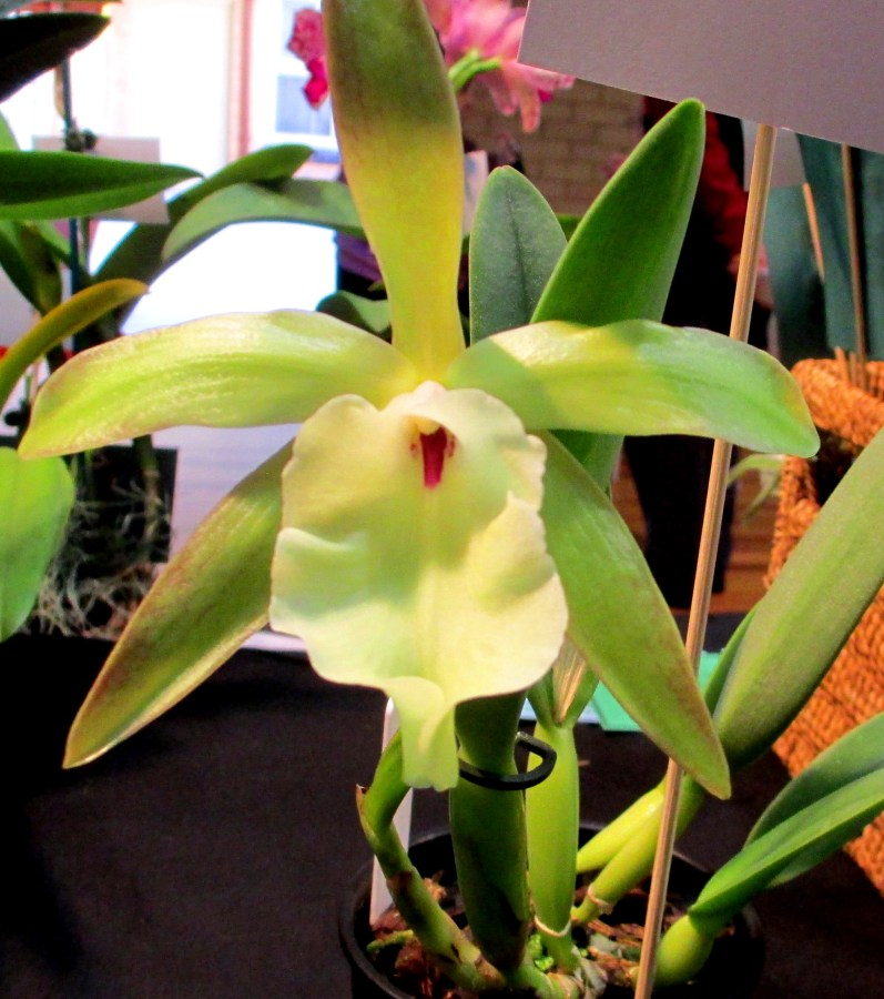 Brassavola Glauca Lady of the Night Orchid, brassavola, orchid, orchids, Lady of the Night Orchid, Lady of the Night Orchids, cymbidium, south east Melbourne, Melbourne, orchid clubs, orchid societies, OSCOV, orchid photos, orchid care, orchid pictures, orchid images, orchid shows, orchid newsletters, orchids on Facebook, orchids of Twitter, Moorabbin, Bentleigh, Brighton, Hampton, Sandringham, Black Rock, Beaumaris, Bayside Council, Bayside district, Kingston, Bayside Melbourne, SE Suburbs, Parkdale, Mordialloc, Carnegie, Cheltenham, McKinnon, Highett, Oakleigh, Clarinda, Heatherton, Clayton, Dingley, Elsternwick, Caulfield, Ormond, Glenhuntley, Murrumbeena,