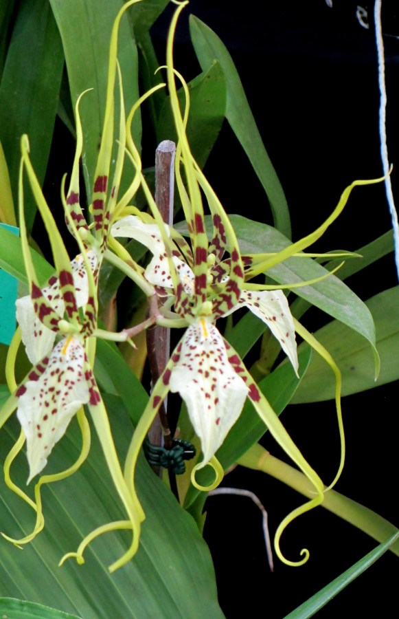 Brassia Edwah Loo Helius, brassias, orchid, orchids, cymbidium, south east Melbourne, Melbourne, orchid clubs, orchid societies, OSCOV, orchid photos, orchid care, orchid pictures, orchid images, orchid shows, orchid newsletters, orchids on Facebook, orchids of Twitter, Moorabbin, Bentleigh, Brighton, Hampton, Sandringham, Black Rock, Beaumaris, Bayside Council, Bayside district, Kingston, Bayside Melbourne, SE Suburbs, Parkdale, Mordialloc, Carnegie, Cheltenham, McKinnon, Highett, Oakleigh, Clarinda, Heatherton, Clayton, Dingley, Elsternwick, Caulfield, Ormond, Glenhuntley, Murrumbeena,