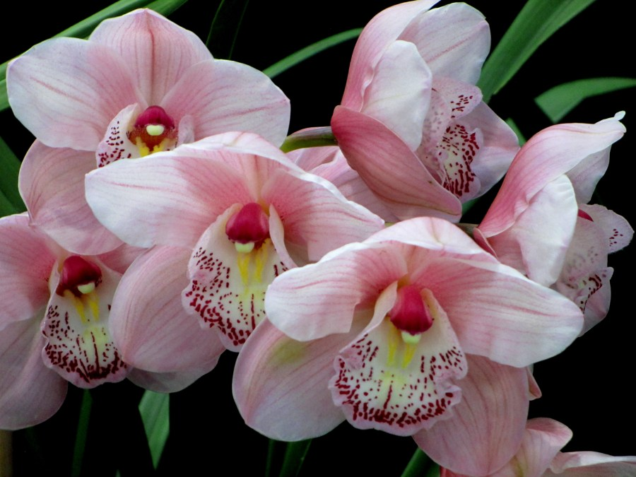 Cymbidium unknown (pale pink), orchid, orchids, cymbidium, south east Melbourne, Melbourne, orchid clubs, orchid societies, OSCOV, orchid photos, orchid care, orchid pictures, orchid images, orchid shows, orchid newsletters, orchids on Facebook, orchids of Twitter, Moorabbin, Bentleigh, Brighton, Hampton, Sandringham, Black Rock, Beaumaris, Bayside Council, Bayside district, Kingston, Bayside Melbourne, SE Suburbs, Parkdale, Mordialloc, Carnegie, Cheltenham, McKinnon, Highett, Oakleigh, Clarinda, Heatherton, Clayton, Dingley, Elsternwick, Caulfield, Ormond, Glenhuntley, Murrumbeena,