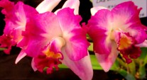 Laelia Cattleya Hsinying 'Excell', LC, laelias, cattleyas, orchid, orchids, cymbidium, south east Melbourne, Melbourne, orchid clubs, orchid societies, OSCOV, orchid photos, orchid care, orchid pictures, orchid images, orchid shows, orchid newsletters, orchids on Facebook, orchids of Twitter, Moorabbin, Bentleigh, Brighton, Hampton, Sandringham, Black Rock, Beaumaris, Bayside Council, Bayside district, Kingston, Bayside Melbourne, SE Suburbs, Parkdale, Mordialloc, Carnegie, Cheltenham, McKinnon, Highett, Oakleigh, Clarinda, Heatherton, Clayton, Dingley, Elsternwick, Caulfield, Ormond, Glenhuntley, Murrumbeena,