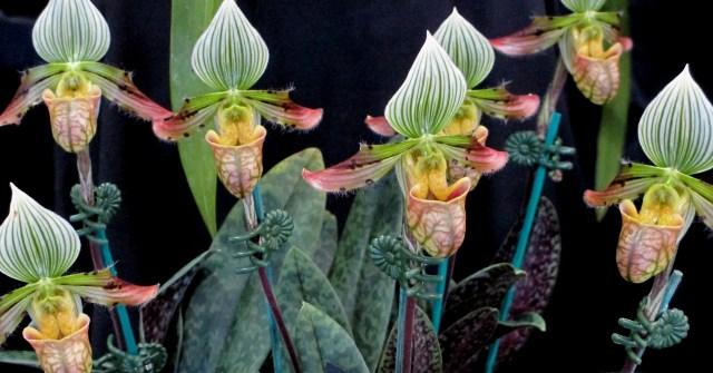 Paphiopedilum venustum slipper orchids