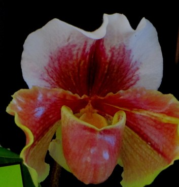 Slipper Orchids, Paphiopedilum hellas x personalla, paphiopedilum, paphs, orchid, orchids, Slipper orchids, slipper orchid, cymbidium, cymbidium kimberly splash, tee pee, south east Melbourne, Melbourne, orchid clubs, orchid societies, OSCOV, orchid photos, orchid care, orchid pictures, orchid images, orchid shows, orchid newsletters, orchids on Facebook, orchids of Twitter, Moorabbin, Bentleigh, Brighton, Hampton, Sandringham, Black Rock, Beaumaris, Bayside Council, Bayside district, Kingston, Bayside Melbourne, SE Suburbs, Parkdale, Mordialloc, Carnegie, Cheltenham, McKinnon, Highett, Oakleigh, Clarinda, Heatherton, Clayton, Dingley, Elsternwick, Caulfield, Ormond, Glenhuntley, Murrumbeena,