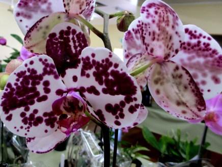 Phalaenopsis Yu Pin 'Brother Spotter Yukin', phalaenopsis, orchid, orchids, moth orchids, moth orchid, cymbidium, cymbidium kimberly splash, tee pee, south east Melbourne, Melbourne, orchid clubs, orchid societies, OSCOV, orchid photos, orchid care, orchid pictures, orchid images, orchid shows, orchid newsletters, orchids on Facebook, orchids of Twitter, Moorabbin, Bentleigh, Brighton, Hampton, Sandringham, Black Rock, Beaumaris, Bayside Council, Bayside district, Kingston, Bayside Melbourne, SE Suburbs, Parkdale, Mordialloc, Carnegie, Cheltenham, McKinnon, Highett, Oakleigh, Clarinda, Heatherton, Clayton, Dingley, Elsternwick, Caulfield, Ormond, Glenhuntley, Murrumbeena,