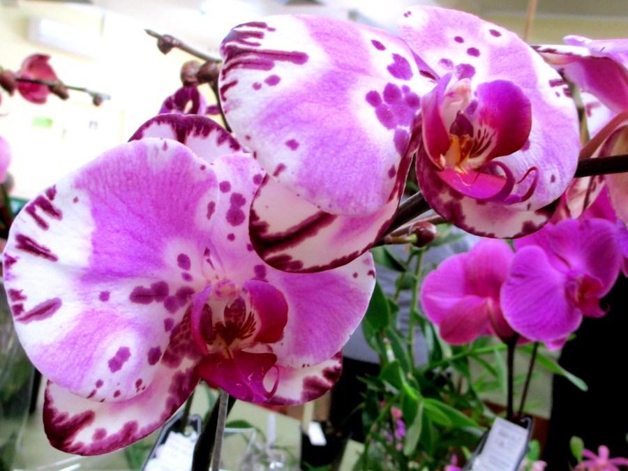 Phalaenopsis Yu Pin 'Deps Yu Pin Dabaram' girl, phalaenopsis, orchid, orchids, moth orchids, moth orchid, cymbidium, cymbidium kimberly splash, tee pee, south east Melbourne, Melbourne, orchid clubs, orchid societies, OSCOV, orchid photos, orchid care, orchid pictures, orchid images, orchid shows, orchid newsletters, orchids on Facebook, orchids of Twitter, Moorabbin, Bentleigh, Brighton, Hampton, Sandringham, Black Rock, Beaumaris, Bayside Council, Bayside district, Kingston, Bayside Melbourne, SE Suburbs, Parkdale, Mordialloc, Carnegie, Cheltenham, McKinnon, Highett, Oakleigh, Clarinda, Heatherton, Clayton, Dingley, Elsternwick, Caulfield, Ormond, Glenhuntley, Murrumbeena,