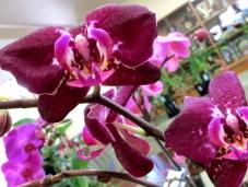 Phalaenopsis Yu Pin 'Fairlady', phalaenopsis, moth orchids, moth orchid, orchid, orchids, cymbidium, cymbidium kimberly splash, tee pee, south east Melbourne, Melbourne, orchid clubs, orchid societies, OSCOV, orchid photos, orchid care, orchid pictures, orchid images, orchid shows, orchid newsletters, orchids on Facebook, orchids of Twitter, Moorabbin, Bentleigh, Brighton, Hampton, Sandringham, Black Rock, Beaumaris, Bayside Council, Bayside district, Kingston, Bayside Melbourne, SE Suburbs, Parkdale, Mordialloc, Carnegie, Cheltenham, McKinnon, Highett, Oakleigh, Clarinda, Heatherton, Clayton, Dingley, Elsternwick, Caulfield, Ormond, Glenhuntley, Murrumbeena,