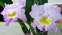 RLC Laelinae Rhynocolaeliocattelya California Girl Orchid Library, laeliinae, laelias, orchid, orchids, cymbidium, south east Melbourne, Melbourne, orchid clubs, orchid societies, OSCOV, orchid photos, orchid care, orchid pictures, orchid images, orchid shows, orchid newsletters, orchids on Facebook, orchids of Twitter, Moorabbin, Bentleigh, Brighton, Hampton, Sandringham, Black Rock, Beaumaris, Bayside Council, Bayside district, Kingston, Bayside Melbourne, SE Suburbs, Parkdale, Mordialloc, Carnegie, Cheltenham, McKinnon, Highett, Oakleigh, Clarinda, Heatherton, Clayton, Dingley, Elsternwick, Caulfield, Ormond, Glenhuntley, Murrumbeena,
