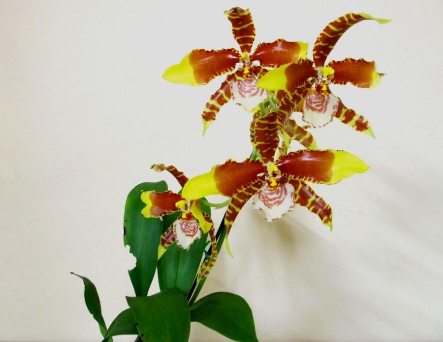 Rossioglossum Grande {'Leanne' x 'Joe', tiger orchids, tiger orchid, clown orchid, clown orchids, rossioglossums, orchid, orchids, cymbidium, south east Melbourne, Melbourne, orchid clubs, orchid societies, OSCOV, orchid photos, orchid care, orchid pictures, orchid images, orchid shows, orchid newsletters, orchids on Facebook, orchids of Twitter, Moorabbin, Bentleigh, Brighton, Hampton, Sandringham, Black Rock, Beaumaris, Bayside Council, Bayside district, Kingston, Bayside Melbourne, SE Suburbs, Parkdale, Mordialloc, Carnegie, Cheltenham, McKinnon, Highett, Oakleigh, Clarinda, Heatherton, Clayton, Dingley, Elsternwick, Caulfield, Ormond, Glenhuntley, Murrumbeena,