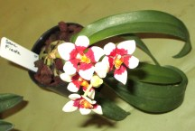 Sarcochilus Fiesta Fairy Orchid, Fairy Orchid, Fairy Orchids, sarcs, sarcochilus, orchid, orchids, cymbidium, south east Melbourne, Melbourne, orchid clubs, orchid societies, OSCOV, orchid photos, orchid care, orchid pictures, orchid images, orchid shows, orchid newsletters, orchids on Facebook, orchids of Twitter, Moorabbin, Bentleigh, Brighton, Hampton, Sandringham, Black Rock, Beaumaris, Bayside Council, Bayside district, Kingston, Bayside Melbourne, SE Suburbs, Parkdale, Mordialloc, Carnegie, Cheltenham, McKinnon, Highett, Oakleigh, Clarinda, Heatherton, Clayton, Dingley, Elsternwick, Caulfield, Ormond, Glenhuntley, Murrumbeena,