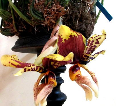 Stanhopea Nigroviolaecia, upside-down orchid, upside-down orchids, stanhopeas, orchid, orchids, cymbidium, south east Melbourne, Melbourne, orchid clubs, orchid societies, OSCOV, orchid photos, orchid care, orchid pictures, orchid images, orchid shows, orchid newsletters, orchids on Facebook, orchids of Twitter, Moorabbin, Bentleigh, Brighton, Hampton, Sandringham, Black Rock, Beaumaris, Bayside Council, Bayside district, Kingston, Bayside Melbourne, SE Suburbs, Parkdale, Mordialloc, Carnegie, Cheltenham, McKinnon, Highett, Oakleigh, Clarinda, Heatherton, Clayton, Dingley, Elsternwick, Caulfield, Ormond, Glenhuntley, Murrumbeena,