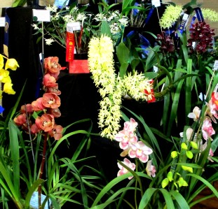 Large Display - 2nd Prize, orchid, orchids, cymbidium, cymbidium kimberly splash, tee pee, south east Melbourne, Melbourne, orchid clubs, orchid societies, OSCOV, orchid photos, orchid care, orchid pictures, orchid images, orchid shows, orchid newsletters, orchids on Facebook, orchids of Twitter, Moorabbin, Bentleigh, Brighton, Hampton, Sandringham, Black Rock, Beaumaris, Bayside Council, Bayside district, Kingston, Bayside Melbourne, SE Suburbs, Parkdale, Mordialloc, Carnegie, Cheltenham, McKinnon, Highett, Oakleigh, Clarinda, Heatherton, Clayton, Dingley, Elsternwick, Caulfield, Ormond, Glenhuntley, Murrumbeena,