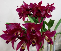Cattleya Chocolate Drop Koolarma, orchids, cymbidium, cymbidium kimberly splash, tee pee, south east Melbourne, Melbourne, orchid clubs, orchid societies, OSCOV, orchid photos, orchid care, orchid pictures, orchid images, orchid shows, orchid newsletters, orchids on Facebook, orchids of Twitter, Moorabbin, Bentleigh, Brighton, Hampton, Sandringham, Black Rock, Beaumaris, Bayside Council, Bayside district, Kingston, Bayside Melbourne, SE Suburbs, Parkdale, Mordialloc, Carnegie, Cheltenham, McKinnon, Highett, Oakleigh, Clarinda, Heatherton, Clayton, Dingley, Elsternwick, Caulfield, Ormond, Glenhuntley, Murrumbeena,