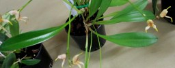 Masdevallia melanipus, orchids, cymbidium, cymbidium kimberly splash, tee pee, south east Melbourne, Melbourne, orchid clubs, orchid societies, OSCOV, orchid photos, orchid care, orchid pictures, orchid images, orchid shows, orchid newsletters, orchids on Facebook, orchids of Twitter, Moorabbin, Bentleigh, Brighton, Hampton, Sandringham, Black Rock, Beaumaris, Bayside Council, Bayside district, Kingston, Bayside Melbourne, SE Suburbs, Parkdale, Mordialloc, Carnegie, Cheltenham, McKinnon, Highett, Oakleigh, Clarinda, Heatherton, Clayton, Dingley, Elsternwick, Caulfield, Ormond, Glenhuntley, Murrumbeena,