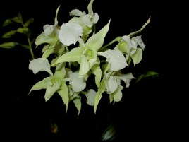 Dendrobium forbesii, orchids, cymbidium, cymbidium kimberly splash, tee pee, south east Melbourne, Melbourne, orchid clubs, orchid societies, OSCOV, orchid photos, orchid care, orchid pictures, orchid images, orchid shows, orchid newsletters, orchids on Facebook, orchids of Twitter, Moorabbin, Bentleigh, Brighton, Hampton, Sandringham, Black Rock, Beaumaris, Bayside Council, Bayside district, Kingston, Bayside Melbourne, SE Suburbs, Parkdale, Mordialloc, Carnegie, Cheltenham, McKinnon, Highett, Oakleigh, Clarinda, Heatherton, Clayton, Dingley, Elsternwick, Caulfield, Ormond, Glenhuntley, Murrumbeena,