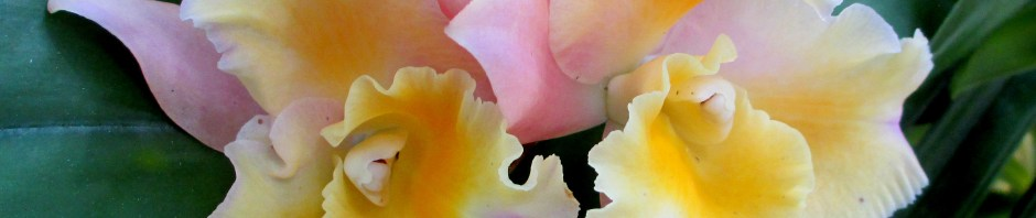 Ringwood Orchid Society's Cattleya Momrani Rainbow 'Buttercup', OSCOV Show, Melbourne Orchid Spectacular, orchids, cymbidium, cymbidium kimberly splash, tee pee, south east Melbourne, Melbourne, orchid clubs, orchid societies, OSCOV, orchid photos, orchid care, orchid pictures, orchid images, orchid shows, orchid newsletters, orchids on Facebook, orchids of Twitter, Moorabbin, Bentleigh, Brighton, Hampton, Sandringham, Black Rock, Beaumaris, Bayside Council, Bayside district, Kingston, Bayside Melbourne, SE Suburbs, Parkdale, Mordialloc, Carnegie, Cheltenham, McKinnon, Highett, Oakleigh, Clarinda, Heatherton, Clayton, Dingley, Elsternwick, Caulfield, Ormond, Glenhuntley, Murrumbeena