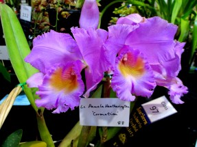 Cattleya LC Pamela Heatherington 'Coronation', orchids, cymbidium, cymbidium kimberly splash, tee pee, south east Melbourne, Melbourne, orchid clubs, orchid societies, OSCOV, orchid photos, orchid care, orchid pictures, orchid images, orchid shows, orchid newsletters, orchids on Facebook, orchids of Twitter, Moorabbin, Bentleigh, Brighton, Hampton, Sandringham, Black Rock, Beaumaris, Bayside Council, Bayside district, Kingston, Bayside Melbourne, SE Suburbs, Parkdale, Mordialloc, Carnegie, Cheltenham, McKinnon, Highett, Oakleigh, Clarinda, Heatherton, Clayton, Dingley, Elsternwick, Caulfield, Ormond, Glenhuntley, Murrumbeena,