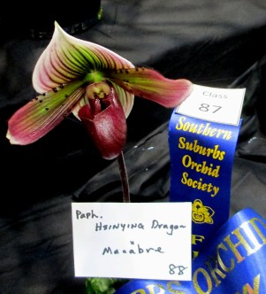 Paphiopedilum Hsingying Dragon x Macabre, orchids, cymbidium, cymbidium kimberly splash, tee pee, south east Melbourne, Melbourne, orchid clubs, orchid societies, OSCOV, orchid photos, orchid care, orchid pictures, orchid images, orchid shows, orchid newsletters, orchids on Facebook, orchids of Twitter, Moorabbin, Bentleigh, Brighton, Hampton, Sandringham, Black Rock, Beaumaris, Bayside Council, Bayside district, Kingston, Bayside Melbourne, SE Suburbs, Parkdale, Mordialloc, Carnegie, Cheltenham, McKinnon, Highett, Oakleigh, Clarinda, Heatherton, Clayton, Dingley, Elsternwick, Caulfield, Ormond, Glenhuntley, Murrumbeena,
