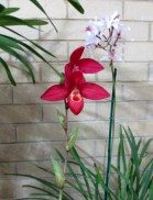 Phragmipedium Waunakee Sunset x Rosalie Dixler, orchids, cymbidium, cymbidium kimberly splash, tee pee, south east Melbourne, Melbourne, orchid clubs, orchid societies, OSCOV, orchid photos, orchid care, orchid pictures, orchid images, orchid shows, orchid newsletters, orchids on Facebook, orchids of Twitter, Moorabbin, Bentleigh, Brighton, Hampton, Sandringham, Black Rock, Beaumaris, Bayside Council, Bayside district, Kingston, Bayside Melbourne, SE Suburbs, Parkdale, Mordialloc, Carnegie, Cheltenham, McKinnon, Highett, Oakleigh, Clarinda, Heatherton, Clayton, Dingley, Elsternwick, Caulfield, Ormond, Glenhuntley, Murrumbeena,