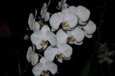 Phalaenopsis white 'Amabilis', orchids, cymbidium, cymbidium kimberly splash, tee pee, south east Melbourne, Melbourne, orchid clubs, orchid societies, OSCOV, orchid photos, orchid care, orchid pictures, orchid images, orchid shows, orchid newsletters, orchids on Facebook, orchids of Twitter, Moorabbin, Bentleigh, Brighton, Hampton, Sandringham, Black Rock, Beaumaris, Bayside Council, Bayside district, Kingston, Bayside Melbourne, SE Suburbs, Parkdale, Mordialloc, Carnegie, Cheltenham, McKinnon, Highett, Oakleigh, Clarinda, Heatherton, Clayton, Dingley, Elsternwick, Caulfield, Ormond, Glenhuntley, Murrumbeena,