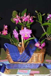 Cat Dal's Girl#1 Cat Lulu x Laude Bec#1 Aus Native Topaz biggibum, orchids, cymbidium, cymbidium kimberly splash, tee pee, south east Melbourne, Melbourne, orchid clubs, orchid societies, OSCOV, orchid photos, orchid care, orchid pictures, orchid images, orchid shows, orchid newsletters, orchids on Facebook, orchids of Twitter, Moorabbin, Bentleigh, Brighton, Hampton, Sandringham, Black Rock, Beaumaris, Bayside Council, Bayside district, Kingston, Bayside Melbourne, SE Suburbs, Parkdale, Mordialloc, Carnegie, Cheltenham, McKinnon, Highett, Oakleigh, Clarinda, Heatherton, Clayton, Dingley, Elsternwick, Caulfield, Ormond, Glenhuntley, Murrumbeena,