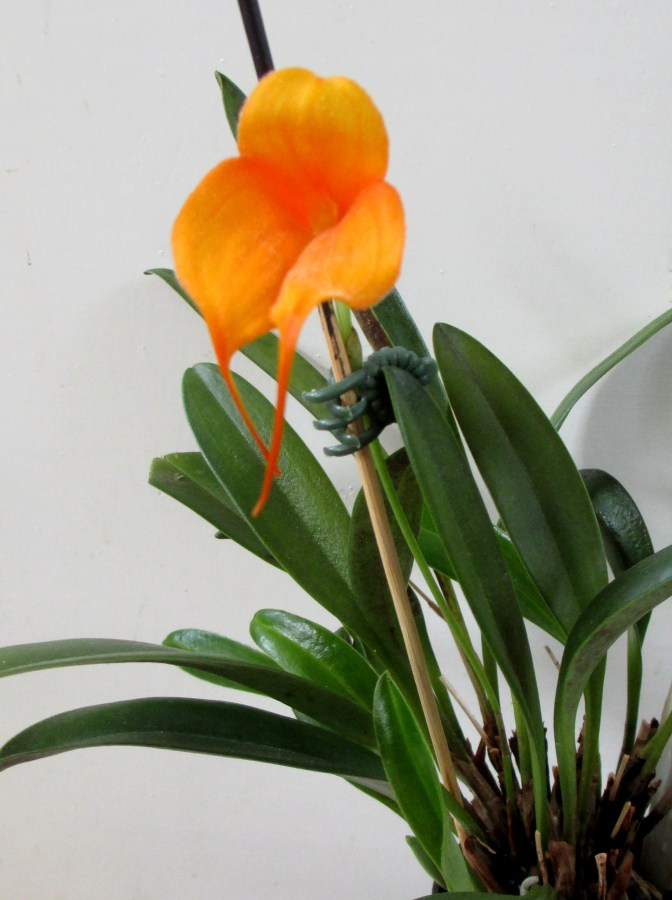 Masdevallia Angel Frost Parfait, orchids, cymbidium, cymbidium kimberly splash, tee pee, south east Melbourne, Melbourne, orchid clubs, orchid societies, OSCOV, orchid photos, orchid care, orchid pictures, orchid images, orchid shows, orchid newsletters, orchids on Facebook, orchids of Twitter, Moorabbin, Bentleigh, Brighton, Hampton, Sandringham, Black Rock, Beaumaris, Bayside Council, Bayside district, Kingston, Bayside Melbourne, SE Suburbs, Parkdale, Mordialloc, Carnegie, Cheltenham, McKinnon, Highett, Oakleigh, Clarinda, Heatherton, Clayton, Dingley, Elsternwick, Caulfield, Ormond, Glenhuntley, Murrumbeena,