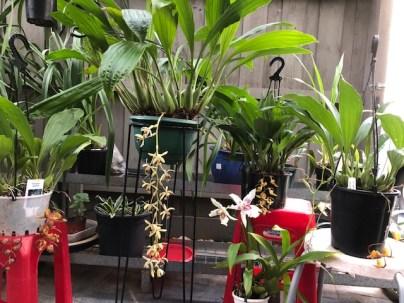 Coelogyne tomentosa [Grower: T Liston], cymbidium, cymbidium kimberly splash, tee pee, south east Melbourne, Melbourne, orchid clubs, orchid societies, OSCOV, orchid photos, orchid care, orchid pictures, orchid images, orchid shows, orchid newsletters, orchids on Facebook, orchids of Twitter, Moorabbin, Bentleigh, Brighton, Hampton, Sandringham, Black Rock, Beaumaris, Bayside Council, Bayside district, Kingston, Bayside Melbourne, SE Suburbs, Parkdale, Mordialloc, Carnegie, Cheltenham, McKinnon, Highett, Oakleigh, Clarinda, Heatherton, Clayton, Dingley, Elsternwick, Caulfield, Ormond, Glenhuntley, Murrumbeena,