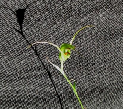 Pterostylis laxa (Bungonia NSW)#2, cymbidium, cymbidium kimberly splash, tee pee, south east Melbourne, Melbourne, orchid clubs, orchid societies, OSCOV, orchid photos, orchid care, orchid pictures, orchid images, orchid shows, orchid newsletters, orchids on Facebook, orchids of Twitter, Moorabbin, Bentleigh, Brighton, Hampton, Sandringham, Black Rock, Beaumaris, Bayside Council, Bayside district, Kingston, Bayside Melbourne, SE Suburbs, Parkdale, Mordialloc, Carnegie, Cheltenham, McKinnon, Highett, Oakleigh, Clarinda, Heatherton, Clayton, Dingley, Elsternwick, Caulfield, Ormond, Glenhuntley, Murrumbeena,