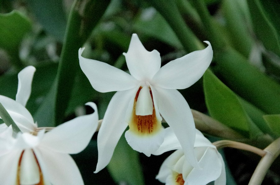 Coelogyne Jannine Banks (close-up), south east Melbourne, Melbourne, orchid clubs, orchid societies, OSCOV, orchid photos, orchid care, orchid pictures, orchid images, orchid shows, orchid newsletters, orchids on Facebook, orchids of Twitter, Moorabbin, Bentleigh, Brighton, Hampton, Sandringham, Black Rock, Beaumaris, Bayside Council, Bayside district, Kingston, Bayside Melbourne, SE Suburbs, Parkdale, Mordialloc, Carnegie, Cheltenham, McKinnon, Highett, Oakleigh, Clarinda, Heatherton, Clayton, Dingley, Elsternwick, Caulfield, Ormond, Glenhuntley, Murrumbeena,