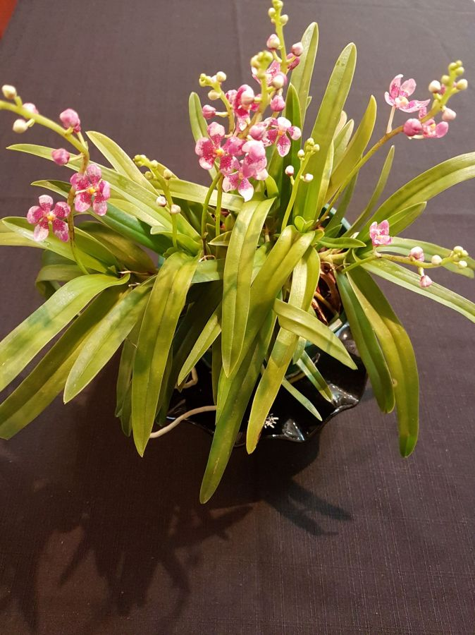 Sarc Fitzhart x Lois, south east Melbourne, Melbourne, orchid clubs, orchid societies, OSCOV, orchid photos, orchid care, orchid pictures, orchid images, orchid shows, orchid newsletters, orchids on Facebook, orchids of Twitter, Moorabbin, Bentleigh, Brighton, Hampton, Sandringham, Black Rock, Beaumaris, Bayside Council, Bayside district, Kingston, Bayside Melbourne, SE Suburbs, Parkdale, Mordialloc, Carnegie, Cheltenham, McKinnon, Highett, Oakleigh, Clarinda, Heatherton, Clayton, Dingley, Elsternwick, Caulfield, Ormond, Glenhuntley, Murrumbeena,