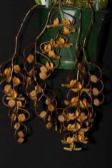 Gongara Galeata south east Melbourne, Melbourne, orchid clubs, orchid societies, OSCOV, orchid photos, orchid care, orchid pictures, orchid images, orchid shows, orchid newsletters, orchids on Facebook, orchids of Twitter, Moorabbin, Bentleigh, Brighton, Hampton, Sandringham, Black Rock, Beaumaris, Bayside Council, Bayside district, Kingston, Bayside Melbourne, SE Suburbs, Parkdale, Mordialloc, Carnegie, Cheltenham, McKinnon, Highett, Oakleigh, Clarinda, Heatherton, Clayton, Dingley, Elsternwick, Caulfield, Ormond, Glenhuntley, Murrumbeena,