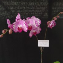 Phalaenopsis hybrid 'Brother Romance', south east Melbourne, Melbourne, orchid clubs, orchid societies, OSCOV, orchid photos, orchid care, orchid pictures, orchid images, orchid shows, orchid newsletters, orchids on Facebook, orchids of Twitter, Moorabbin, Bentleigh, Brighton, Hampton, Sandringham, Black Rock, Beaumaris, Bayside Council, Bayside district, Kingston, Bayside Melbourne, SE Suburbs, Parkdale, Mordialloc, Carnegie, Cheltenham, McKinnon, Highett, Oakleigh, Clarinda, Heatherton, Clayton, Dingley, Elsternwick, Caulfield, Ormond, Glenhuntley, Murrumbeena,
