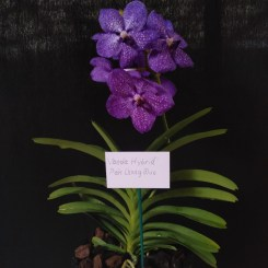 Vanda hybrid 'Pak Chong Blue', south east Melbourne, Melbourne, orchid clubs, orchid societies, OSCOV, orchid photos, orchid care, orchid pictures, orchid images, orchid shows, orchid newsletters, orchids on Facebook, orchids of Twitter, Moorabbin, Bentleigh, Brighton, Hampton, Sandringham, Black Rock, Beaumaris, Bayside Council, Bayside district, Kingston, Bayside Melbourne, SE Suburbs, Parkdale, Mordialloc, Carnegie, Cheltenham, McKinnon, Highett, Oakleigh, Clarinda, Heatherton, Clayton, Dingley, Elsternwick, Caulfield, Ormond, Glenhuntley, Murrumbeena,