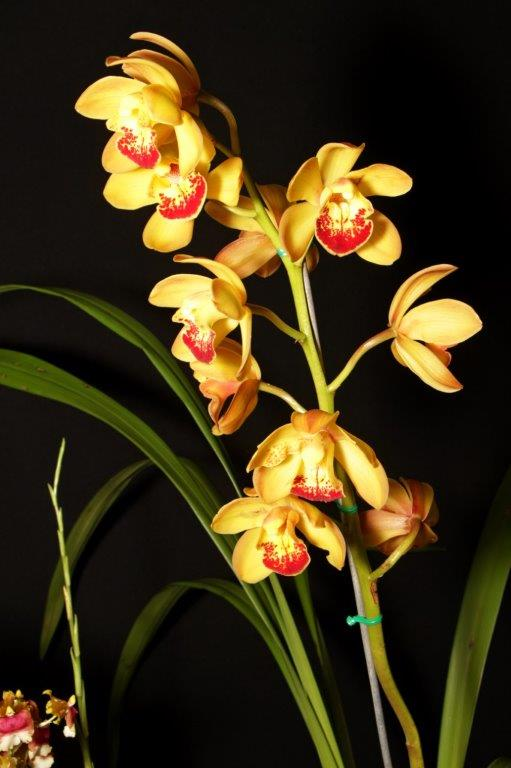 Cymbidium Shoalhaven 'Sunset', south east Melbourne, Melbourne, orchid clubs, orchid societies, OSCOV, orchid photos, orchid care, orchid pictures, orchid images, orchid shows, orchid newsletters, orchids on Facebook, orchids of Twitter, Moorabbin, Bentleigh, Brighton, Hampton, Sandringham, Black Rock, Beaumaris, Bayside Council, Bayside district, Kingston, Bayside Melbourne, SE Suburbs, Parkdale, Mordialloc, Carnegie, Cheltenham, McKinnon, Highett, Oakleigh, Clarinda, Heatherton, Clayton, Dingley, Elsternwick, Caulfield, Ormond, Glenhuntley, Murrumbeena,