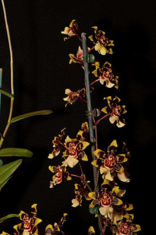 Oncidium Wild Cat - Inter, south east Melbourne, Melbourne, orchid clubs, orchid societies, OSCOV, orchid photos, orchid care, orchid pictures, orchid images, orchid shows, orchid newsletters, orchids on Facebook, orchids of Twitter, Moorabbin, Bentleigh, Brighton, Hampton, Sandringham, Black Rock, Beaumaris, Bayside Council, Bayside district, Kingston, Bayside Melbourne, SE Suburbs, Parkdale, Mordialloc, Carnegie, Cheltenham, McKinnon, Highett, Oakleigh, Clarinda, Heatherton, Clayton, Dingley, Elsternwick, Caulfield, Ormond, Glenhuntley, Murrumbeena,