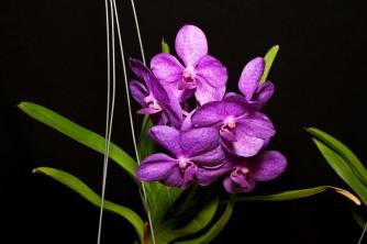 Vanda Mikasa Blue, south east Melbourne, Melbourne, orchid clubs, orchid societies, OSCOV, orchid photos, orchid care, orchid pictures, orchid images, orchid shows, orchid newsletters, orchids on Facebook, orchids of Twitter, Moorabbin, Bentleigh, Brighton, Hampton, Sandringham, Black Rock, Beaumaris, Bayside Council, Bayside district, Kingston, Bayside Melbourne, SE Suburbs, Parkdale, Mordialloc, Carnegie, Cheltenham, McKinnon, Highett, Oakleigh, Clarinda, Heatherton, Clayton, Dingley, Elsternwick, Caulfield, Ormond, Glenhuntley, Murrumbeena,